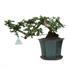 Carmona macrophylla -  Arbre à thé - 28 cm