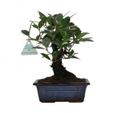 Ficus indica - 23 cm