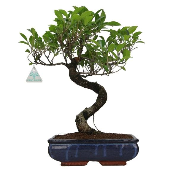 Ficus retusa - 43 cm