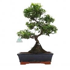 Sagerethia theezans - Sageretia - 42 cm