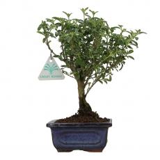 Serissa foetida variegata - 23 cm