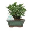 Gardenia jasminoides - 14 cm