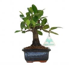 Ficus indica - 20 cm
