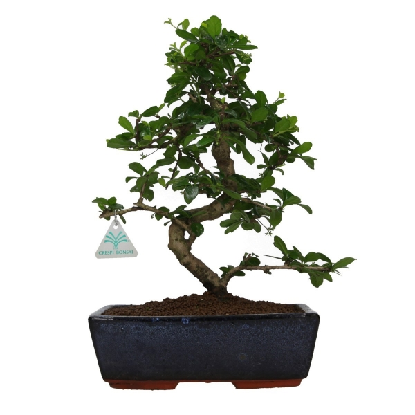 Carmona macrophylla - arbre a the - 38 cm