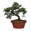 Juniperus rigida - Temple jupiter