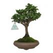 Chamaecyparis obtusa sekka - False Cypress - 27 cm