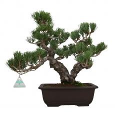 Pinus pentaphylla - Pin à cinq aiguilles - 38 cm
