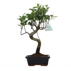 Ficus retusa - 35 cm