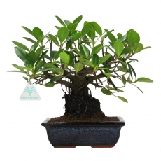 Ficus indica - 27 cm
