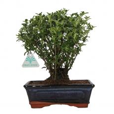 Serissa foetida variegata - 27 cm
