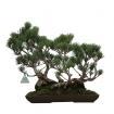Pinus pentaphylla  - Pino - 37 cm