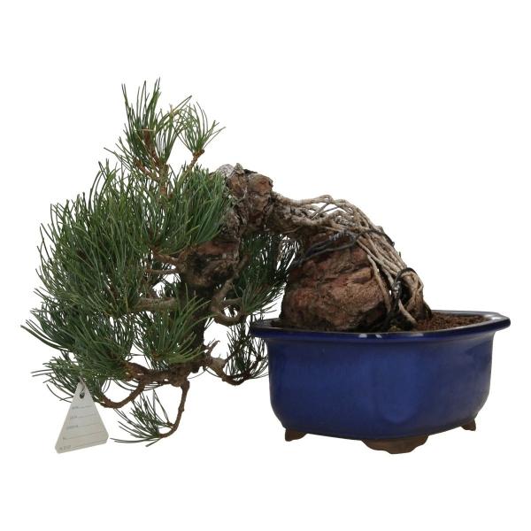 Pinus pentaphylla - 25 cm