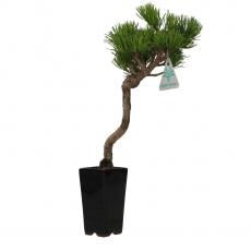 Pinus pentaphylla - Pine five needles - 32 cm