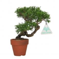 Juniperus chinensis - Juniper - 20 cm