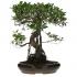 Ficus retusa - 71 cm