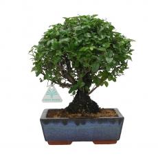 Sagerethia theezans - 26 cm
