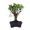 Ficus retusa - 28 cm