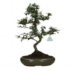Carmona macrophylla -  Arbre à thé - 48 cm