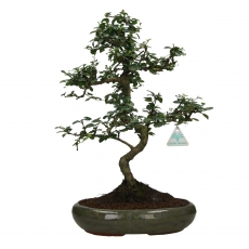 Carmona macrophylla -  Tea tree - 48 cm