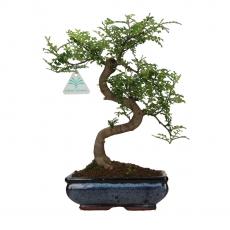 Zanthoxylum - Pepper tree - 34 cm