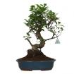 Ficus retusa - 47 cm