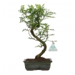 Zanthoxylum - Pepper tree - 33 cm