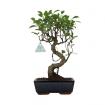 Ficus retusa - 36 cm