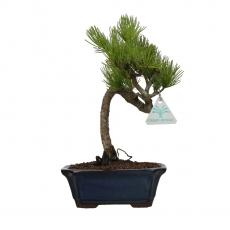 Pinus pentaphylla - Pino - 27 cm