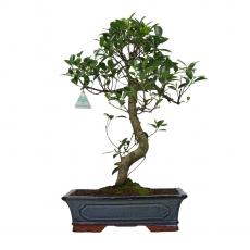 Ficus retusa - 52 cm