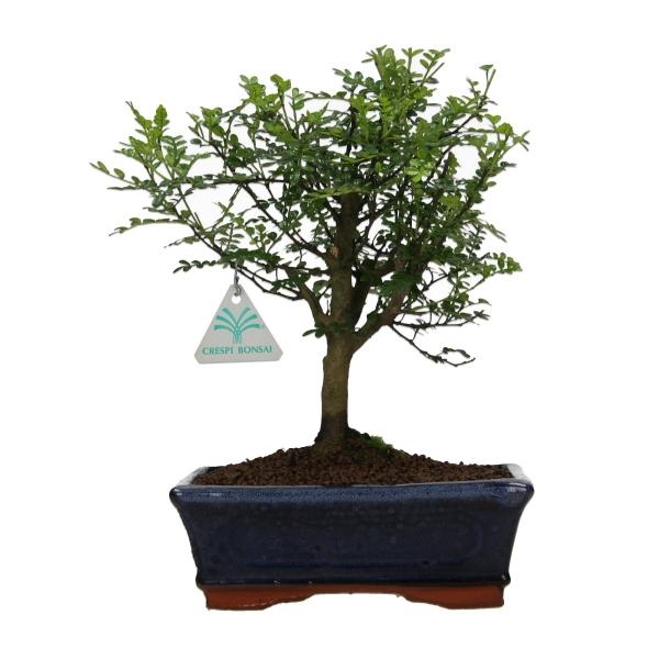 Zanthoxylum - Pepper tree - 28 cm