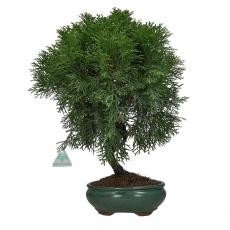 Thuja - 45 cm