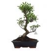 Ficus retusa - 58 cm