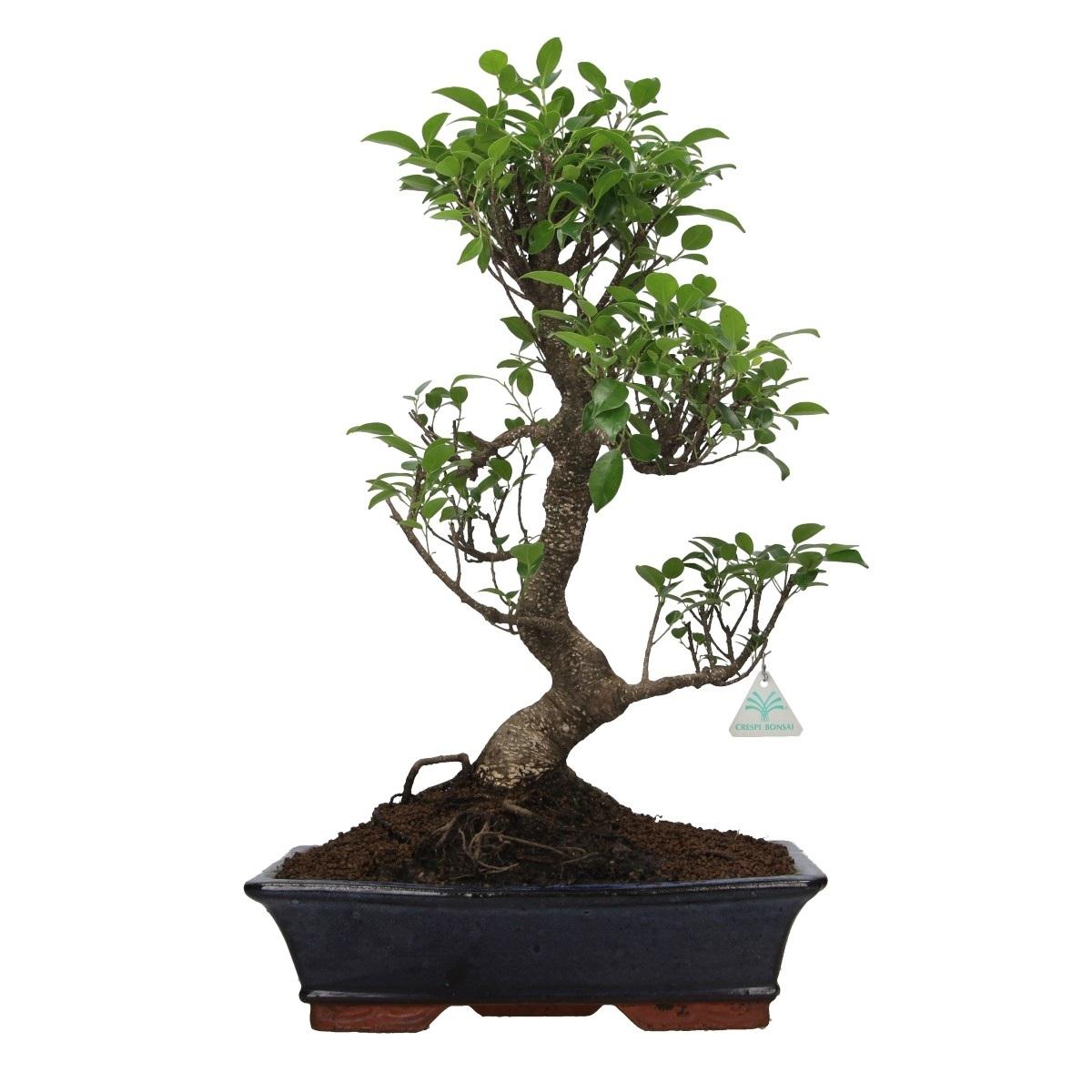 Ficus Retusa 58 Cm