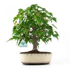 Acer buergerianum - acero - 32 cm