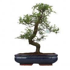 Zanthoxylum - Albero del pepe - 48 cm