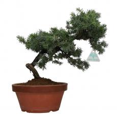 Juniperus rigida - Ginepro ad aghi - 32 cm