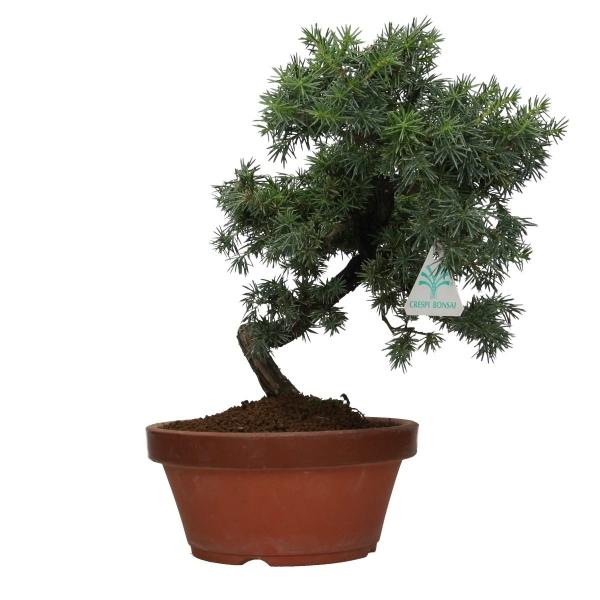 Juniperus rigida - Genévrier rigide
