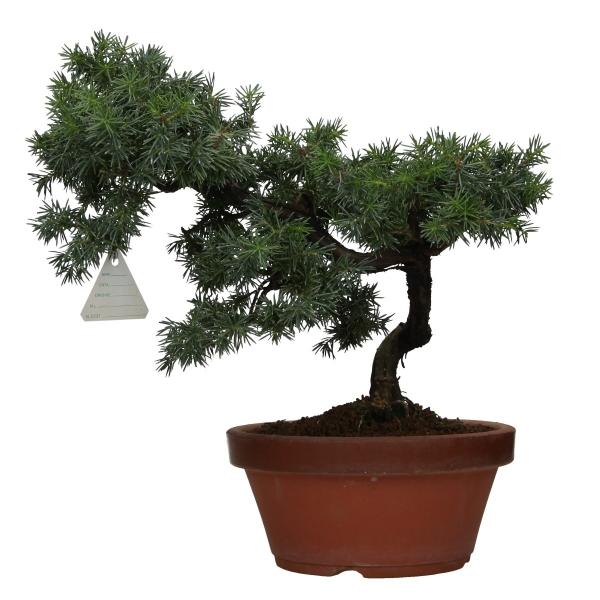 Juniperus rigida - Temple jupiter - 32 cm