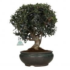 Olea europaea sylvestris - 38 cm