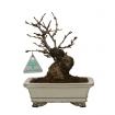 Prunus avium - Ciliegio - 21 cm
