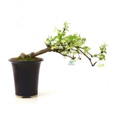 Akebia quinata - 44 cm