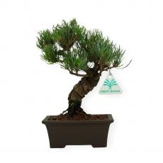 Pinus pentaphylla - Pin à cinq aiguilles - 23 cm