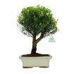 Syzygium - 35 cm