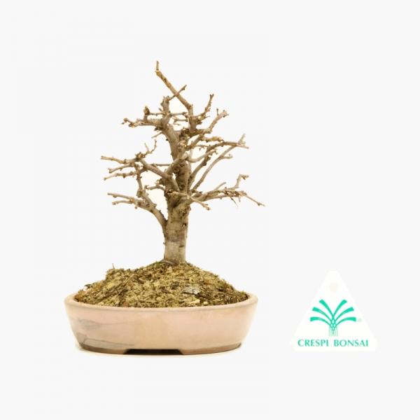 Zelkova serrata - Orme - 15 cm