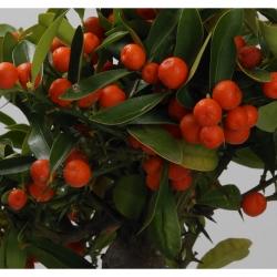 Citrus kinzu - 42 cm