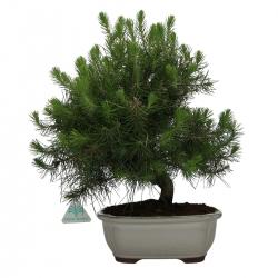 Pino halepensis - 36 cm