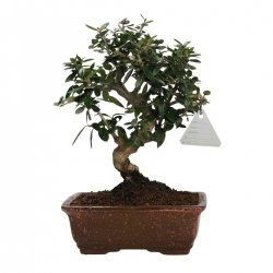 Olea europaea sylvestris - 25 cm