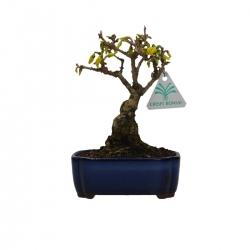Forsythia - Forsizia - 22 cm
