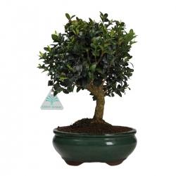 Buxus sempervirens - Boxwood  - 29 cm