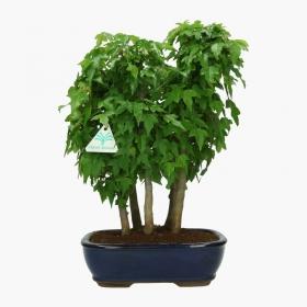 Acer buergerianum - acero - 35 cm
